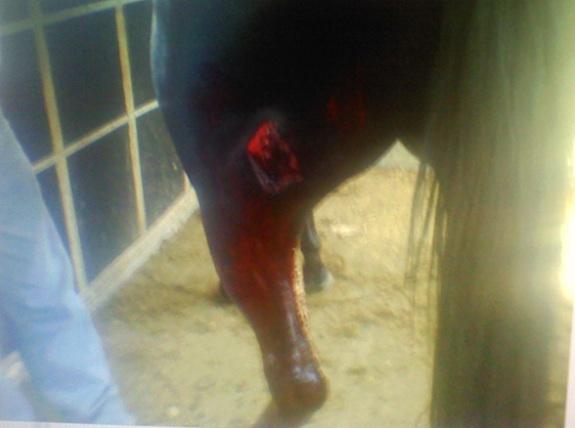 Injured Horse 2