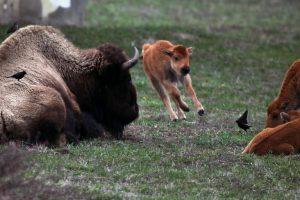 17xp-bison-master768