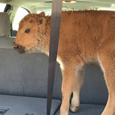 Yellowstone Bison Calf Had To Be Euthanized: Blame Tourists Not The Park [VIDEOS]