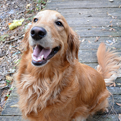 Golden Retriever More Scary than Antifa Says Idiot
